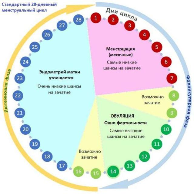 Менструальный цикл 28 дней - схема по фазам