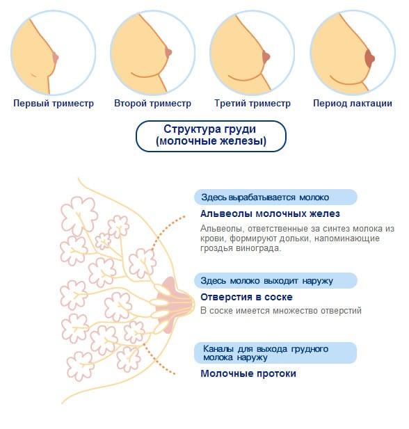 Изменение женской груди до и после беременности