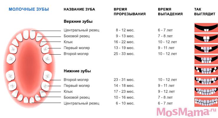 Схема смены зубов у детей