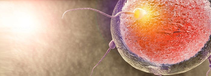 Сперматозоид с яйцеклеткой сливаются и образовывают зиготу