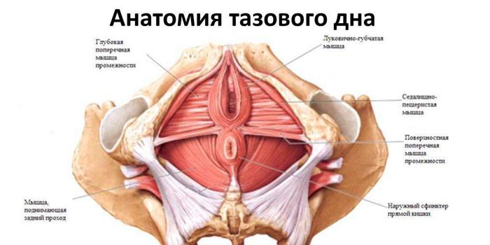 Анатомия тазового дна