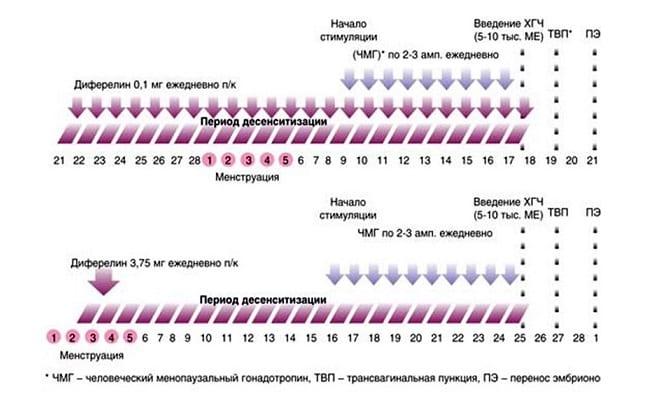 Схема длинного протокола ЭКО по дням