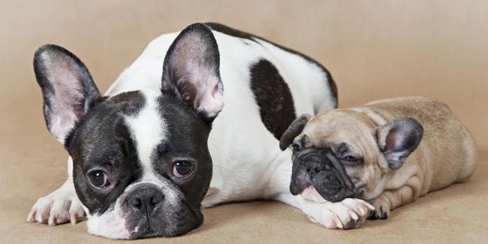 Мама и щенок французского бульдога