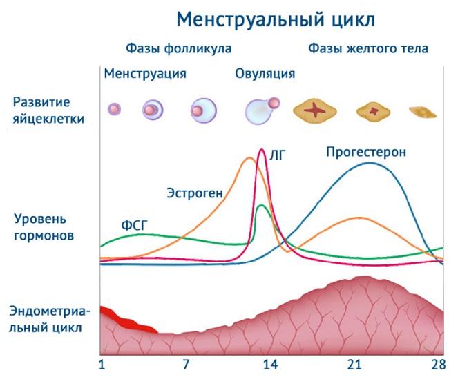 Изменение гормонов во время цикла