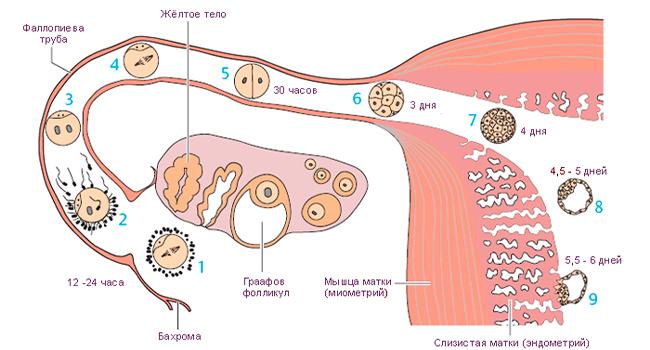 Физиология имплантации