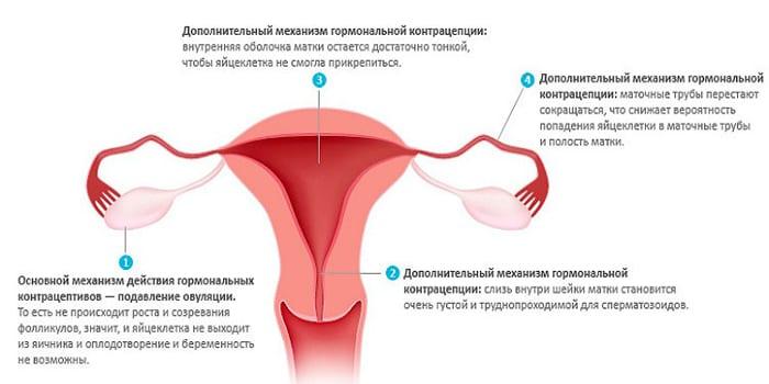 Механизм действия оральных контрацептивов