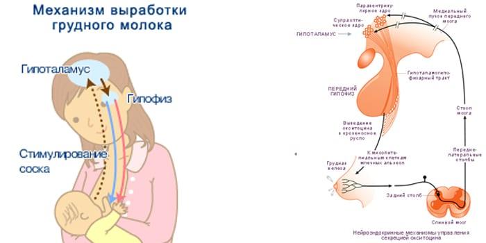 Окситоцин и механизм выработки молока