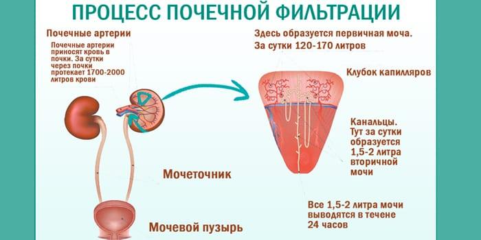 Процесс почечной фильтрации