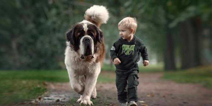 Сенбернар с мальчиком на прогулке