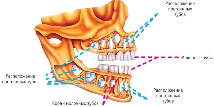 Расположение молочных и коренных зубов