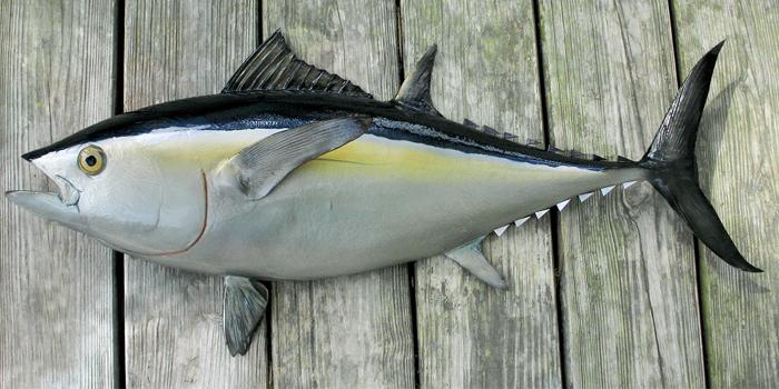 Скумбриевидный тунец