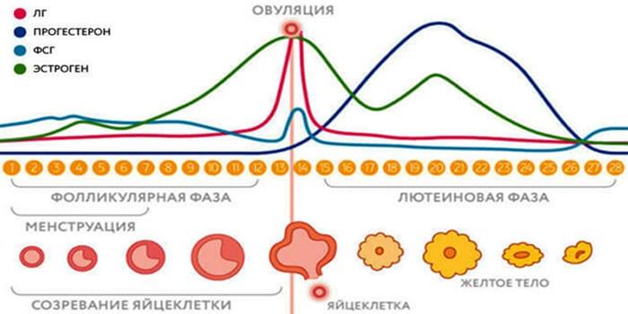 Уровень гормонов вовремя менструального цикла
